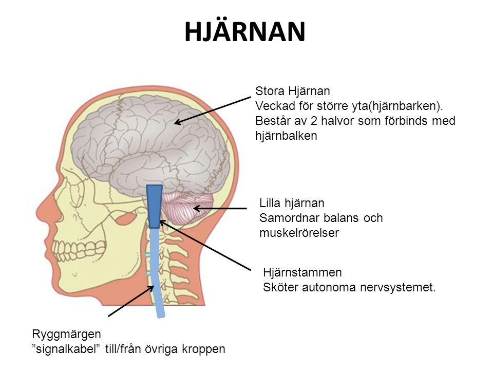 HJÄRNAN Stora Hjärnan. Veckad för större yta(hjärnbarken). Består av 2 halvor som förbinds med hjärnbalken.