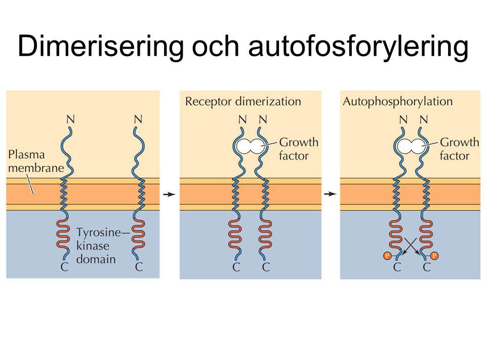 Dimerisering och autofosforylering