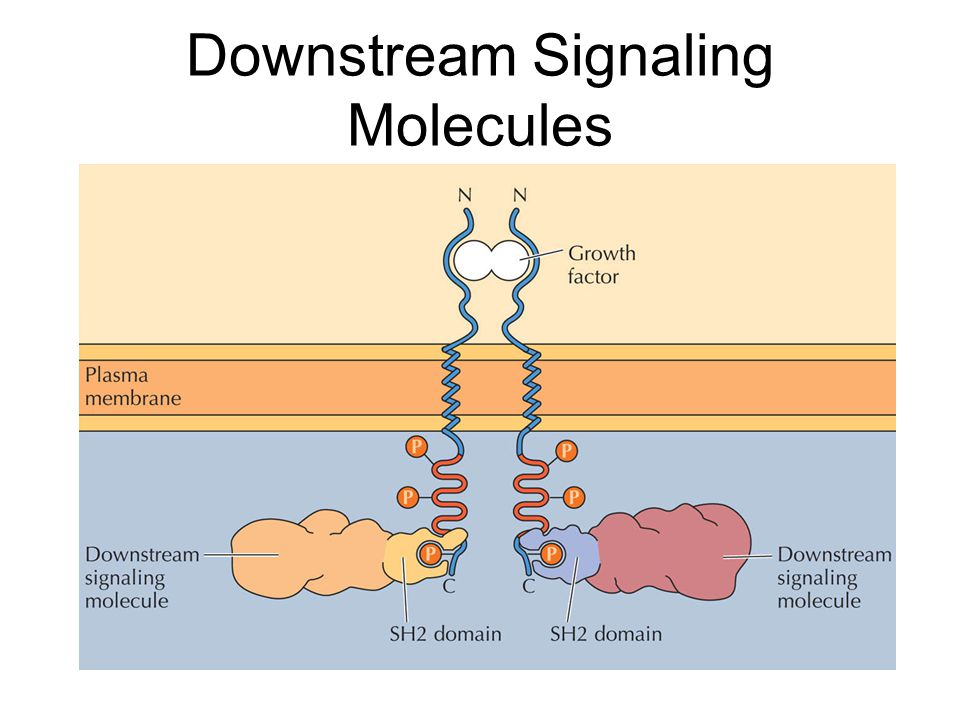 Downstream Signaling Molecules
