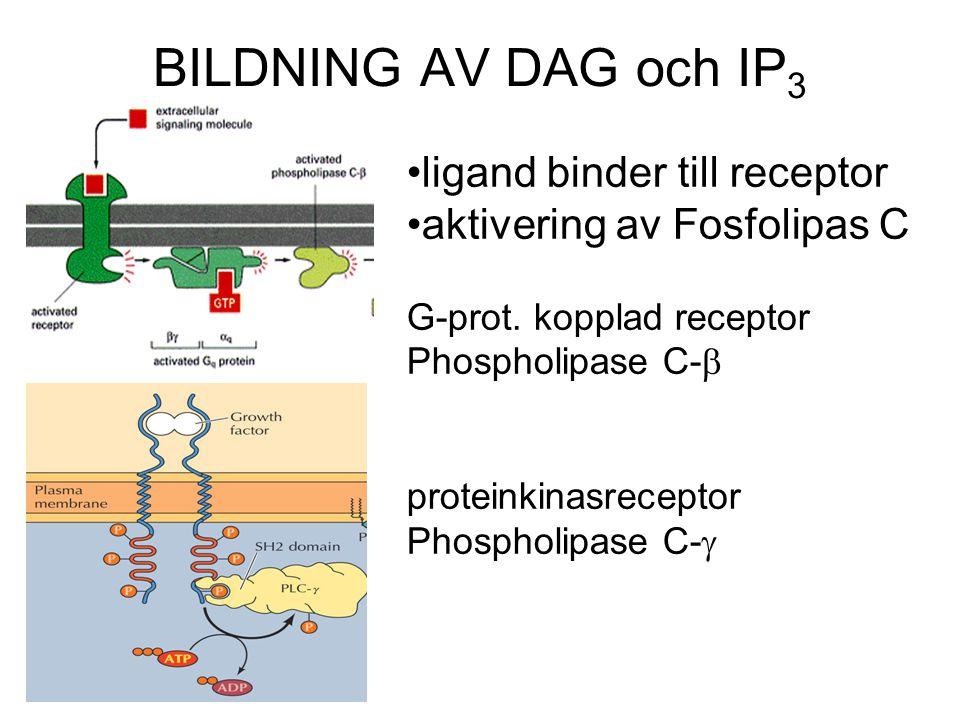 BILDNING AV DAG och IP3 ligand binder till receptor