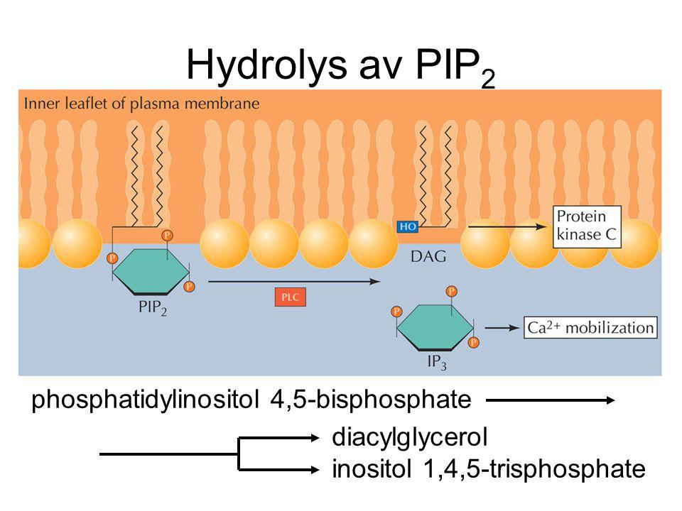 Hydrolys av PIP2 phosphatidylinositol 4,5-bisphosphate diacylglycerol