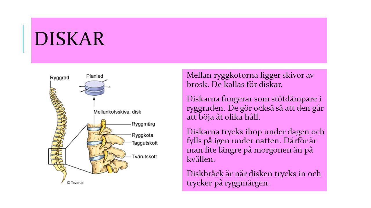 Diskar Mellan ryggkotorna ligger skivor av brosk. De kallas för diskar.