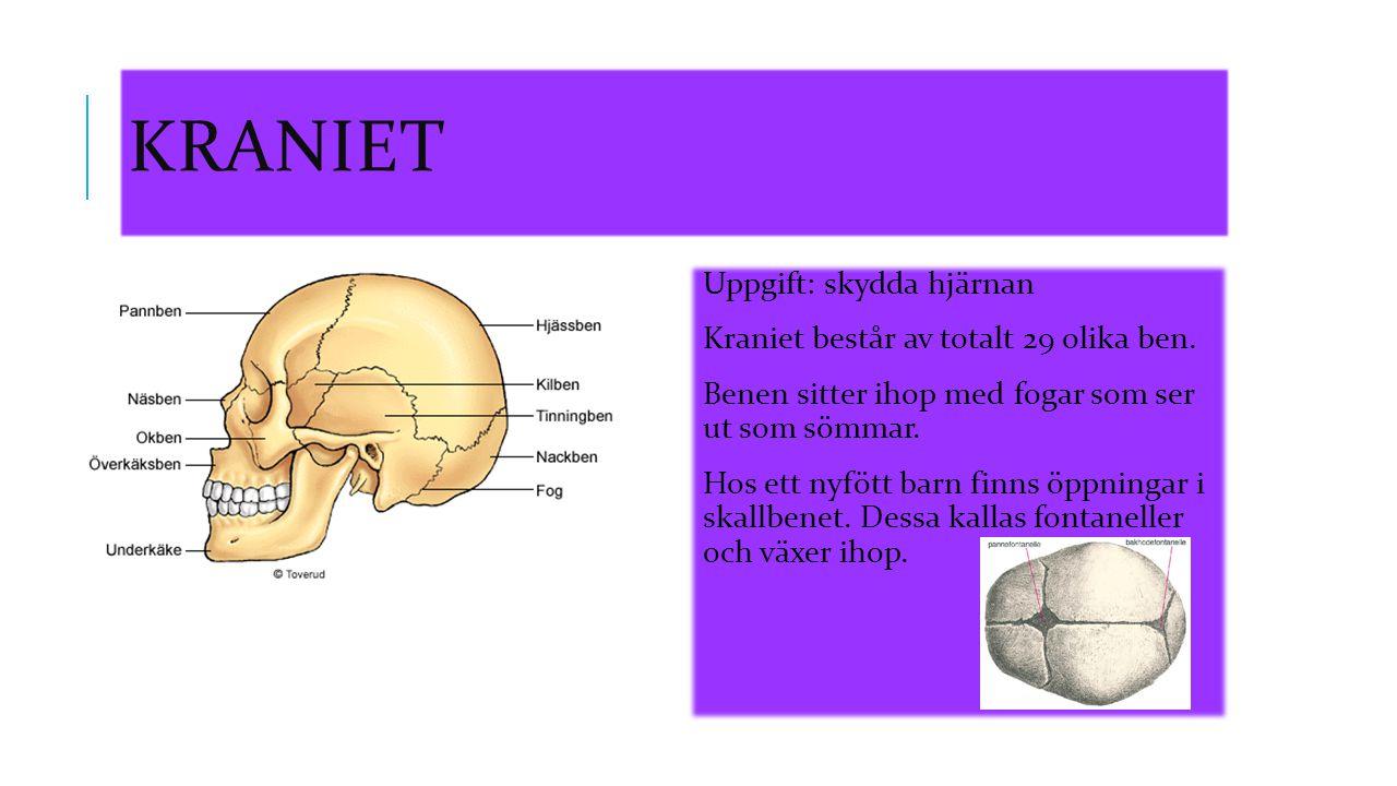 Kraniet Uppgift: skydda hjärnan Kraniet består av totalt 29 olika ben.