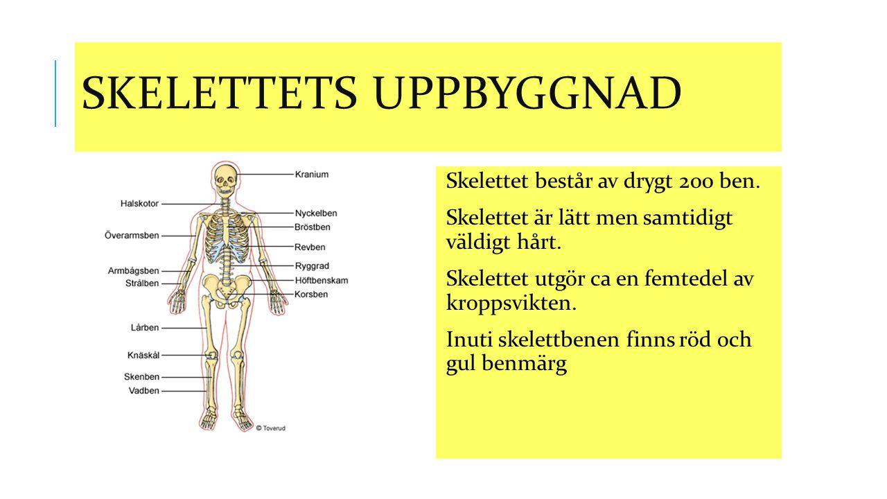 Skelettets Uppbyggnad