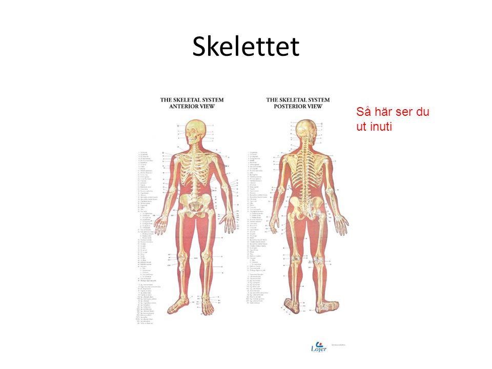 Skelettet Så här ser du ut inuti