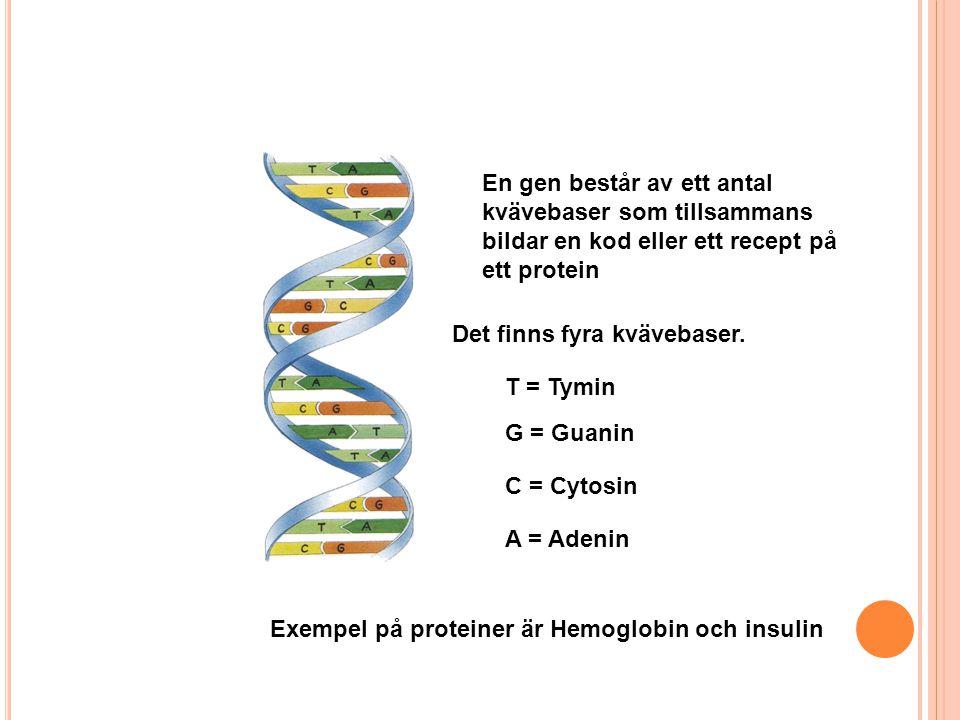 En gen består av ett antal kvävebaser som tillsammans bildar en kod eller ett recept på ett protein