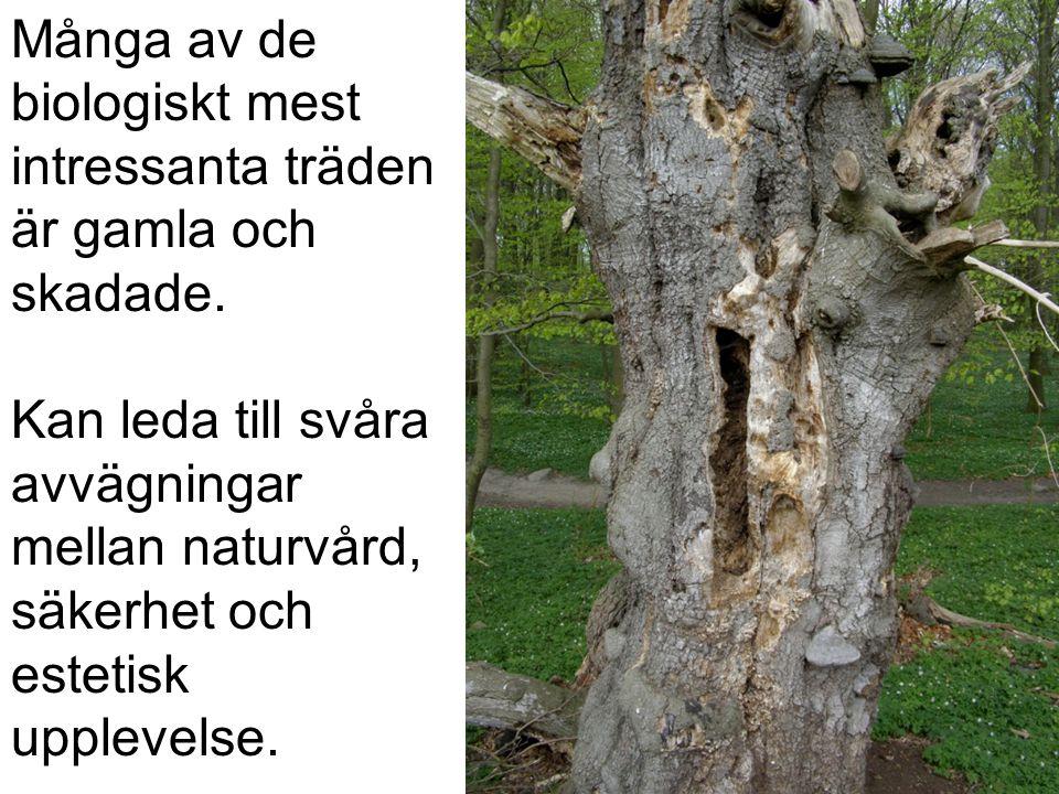 Många av de biologiskt mest intressanta träden är gamla och skadade.
