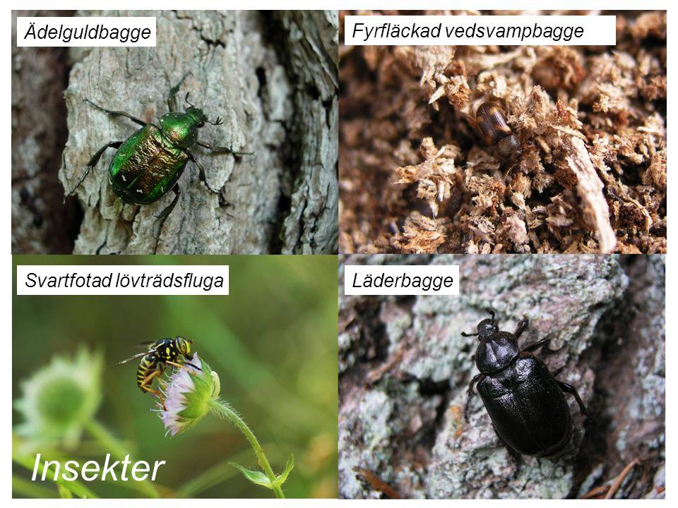 Insekter Ädelguldbagge Fyrfläckad vedsvampbagge