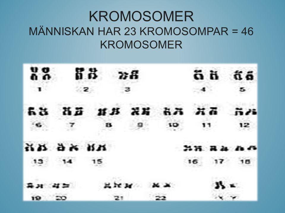 Kromosomer Människan har 23 kromosompar = 46 kromosomer