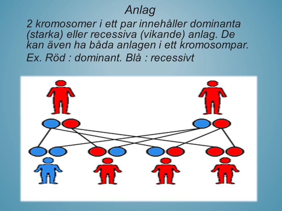 Anlag 2 kromosomer i ett par innehåller dominanta (starka) eller recessiva (vikande) anlag. De kan även ha båda anlagen i ett kromosompar.
