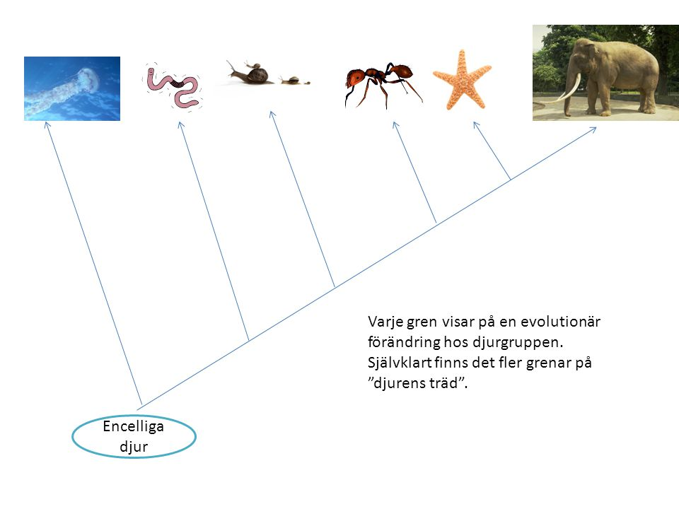 Varje gren visar på en evolutionär förändring hos djurgruppen.