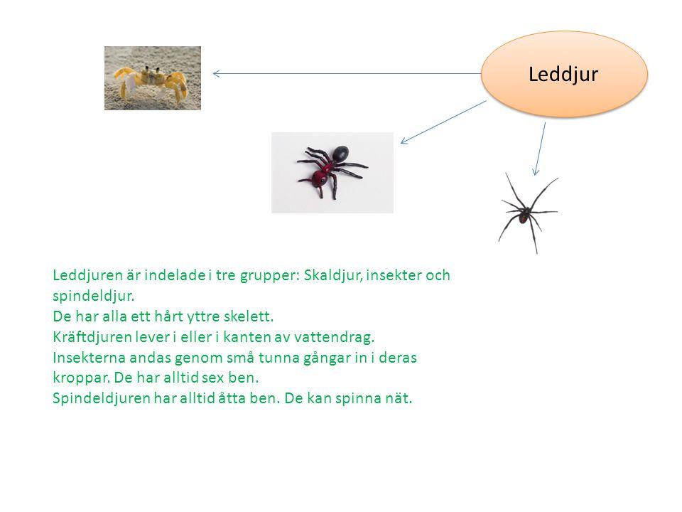 Leddjur Leddjuren är indelade i tre grupper: Skaldjur, insekter och spindeldjur. De har alla ett hårt yttre skelett.