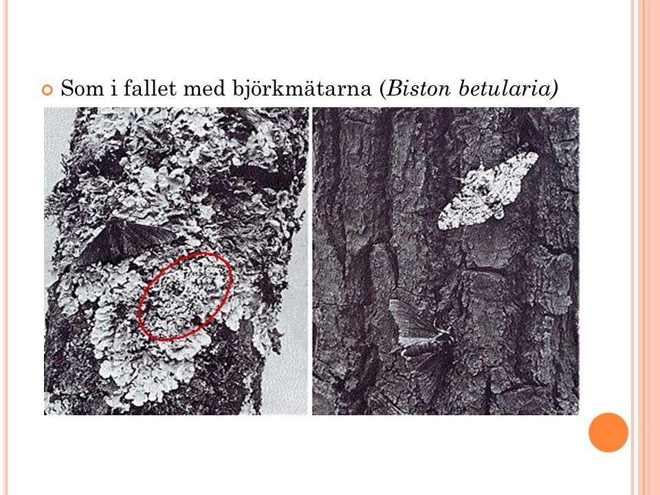 Som i fallet med björkmätarna (Biston betularia)