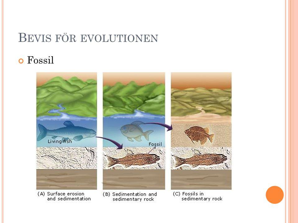 Bevis för evolutionen Fossil