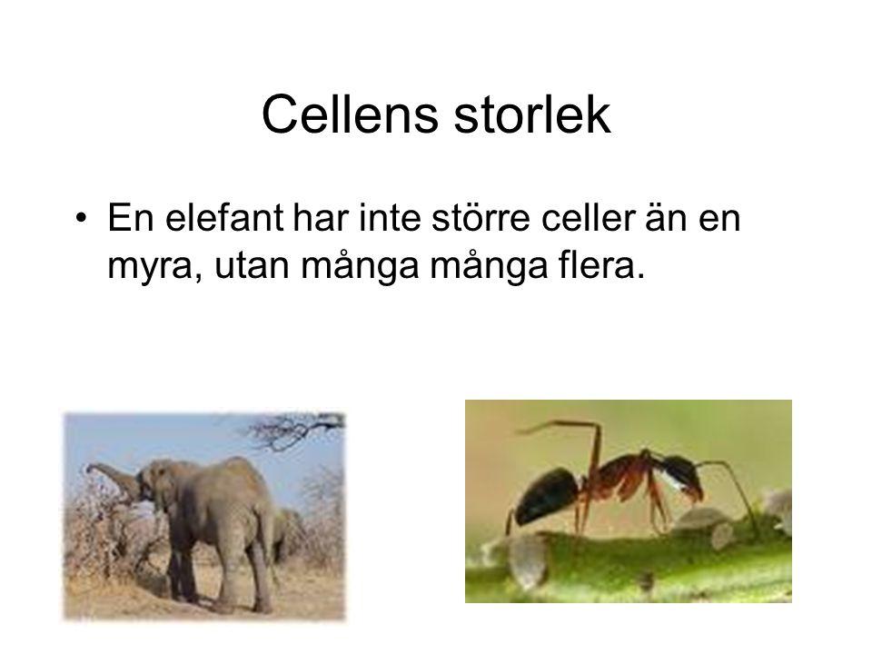 Cellens storlek En elefant har inte större celler än en myra, utan många många flera.