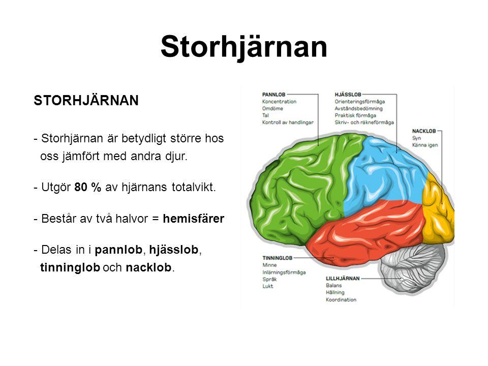 Storhjärnan STORHJÄRNAN Storhjärnan är betydligt större hos