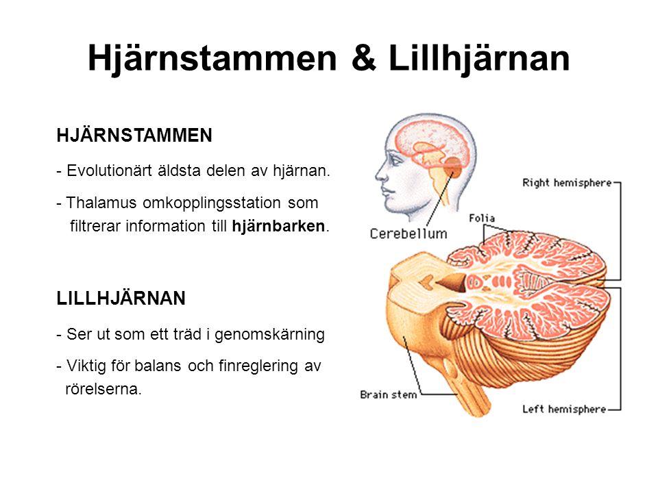 Hjärnstammen & Lillhjärnan
