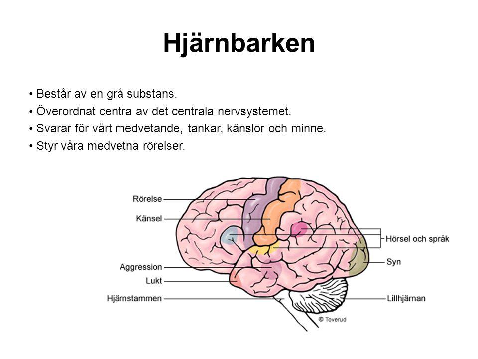 Hjärnbarken Består av en grå substans.