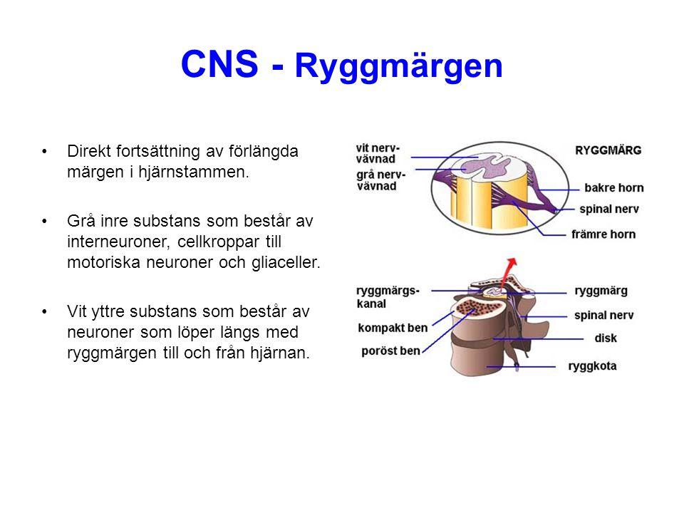 CNS - Ryggmärgen Direkt fortsättning av förlängda märgen i hjärnstammen.