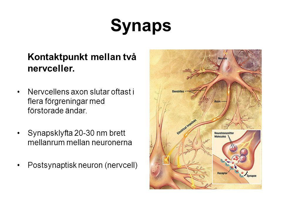 Synaps Kontaktpunkt mellan två nervceller.