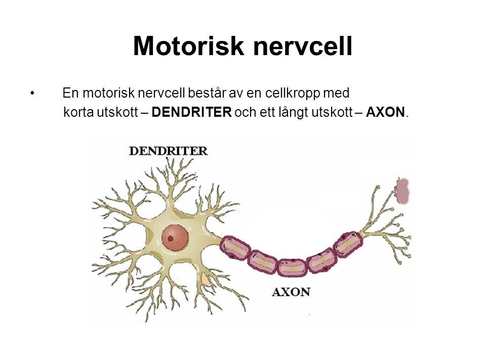 Motorisk nervcell En motorisk nervcell består av en cellkropp med