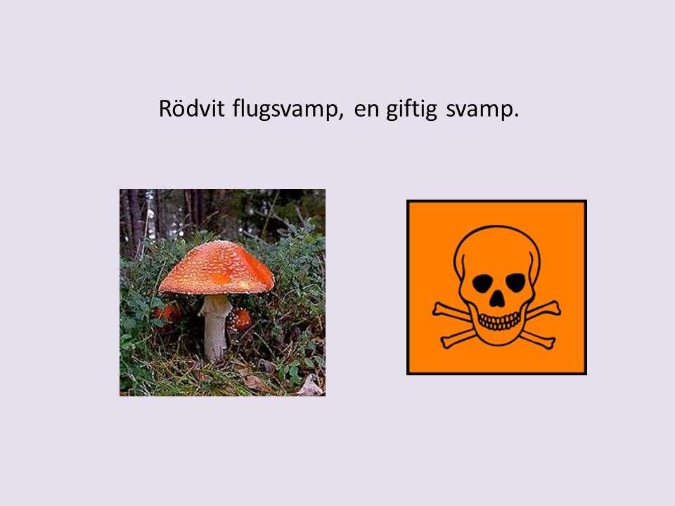 Rödvit flugsvamp, en giftig svamp.