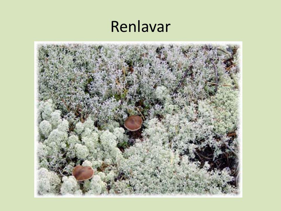 Renlavar