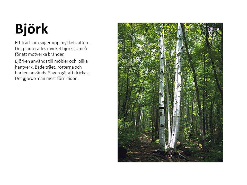 Björk Ett träd som suger upp mycket vatten. Det planterades mycket björk i Umeå för att motverka bränder.