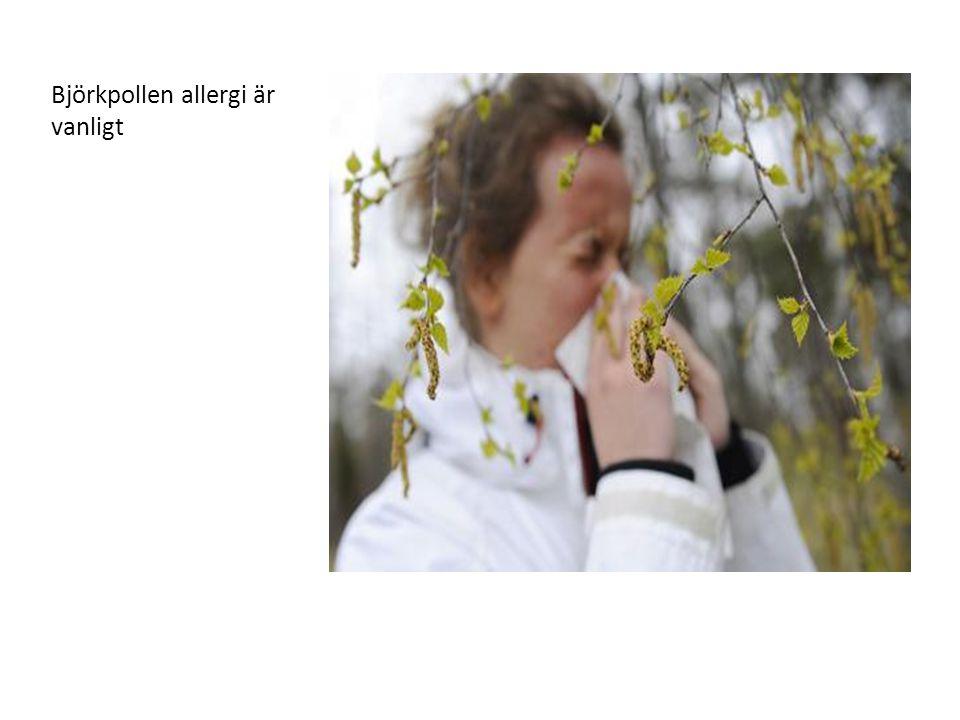 Björkpollen allergi är vanligt