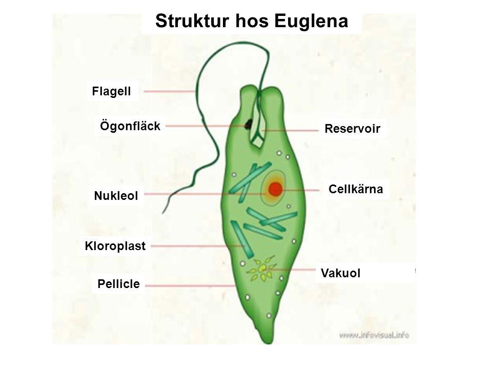 Struktur hos Euglena Flagell Ögonfläck Reservoir Cellkärna Nukleol