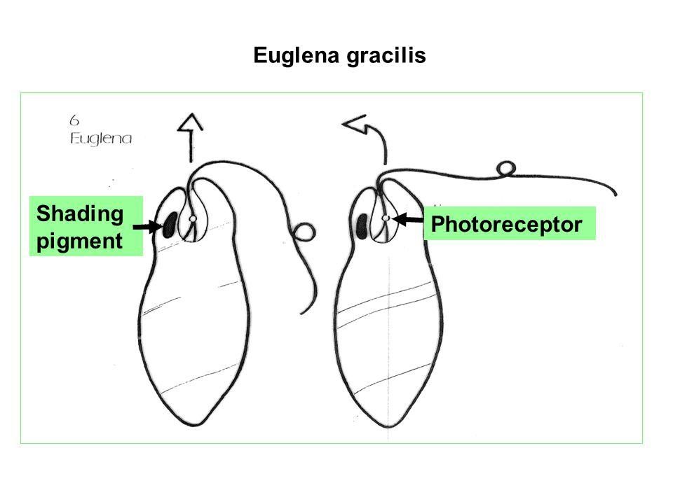 Euglena gracilis Shading pigment Photoreceptor Photoreceptor