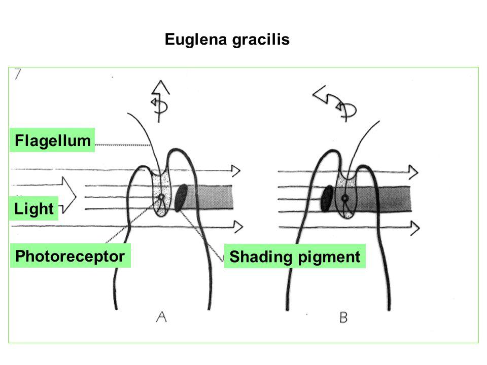 Euglena gracilis Light Photoreceptor Flagellum Shading pigment