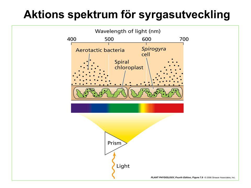Aktions spektrum för syrgasutveckling