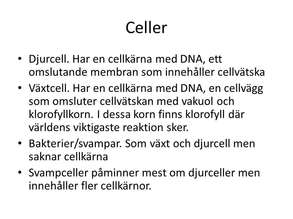 Celler Djurcell. Har en cellkärna med DNA, ett omslutande membran som innehåller cellvätska.