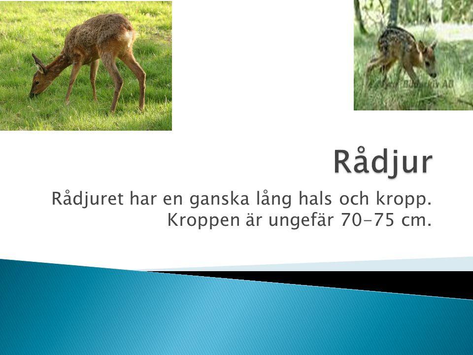Rådjur Rådjuret har en ganska lång hals och kropp. Kroppen är ungefär 70-75 cm.
