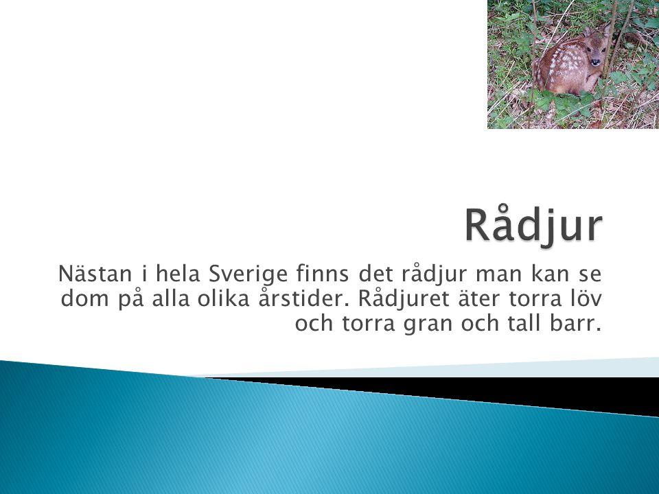 Rådjur Nästan i hela Sverige finns det rådjur man kan se dom på alla olika årstider.