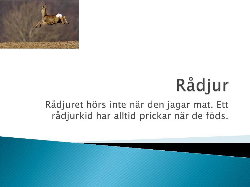 Rådjur Rådjuret hörs inte när den jagar mat. Ett rådjurkid har alltid prickar när de föds.