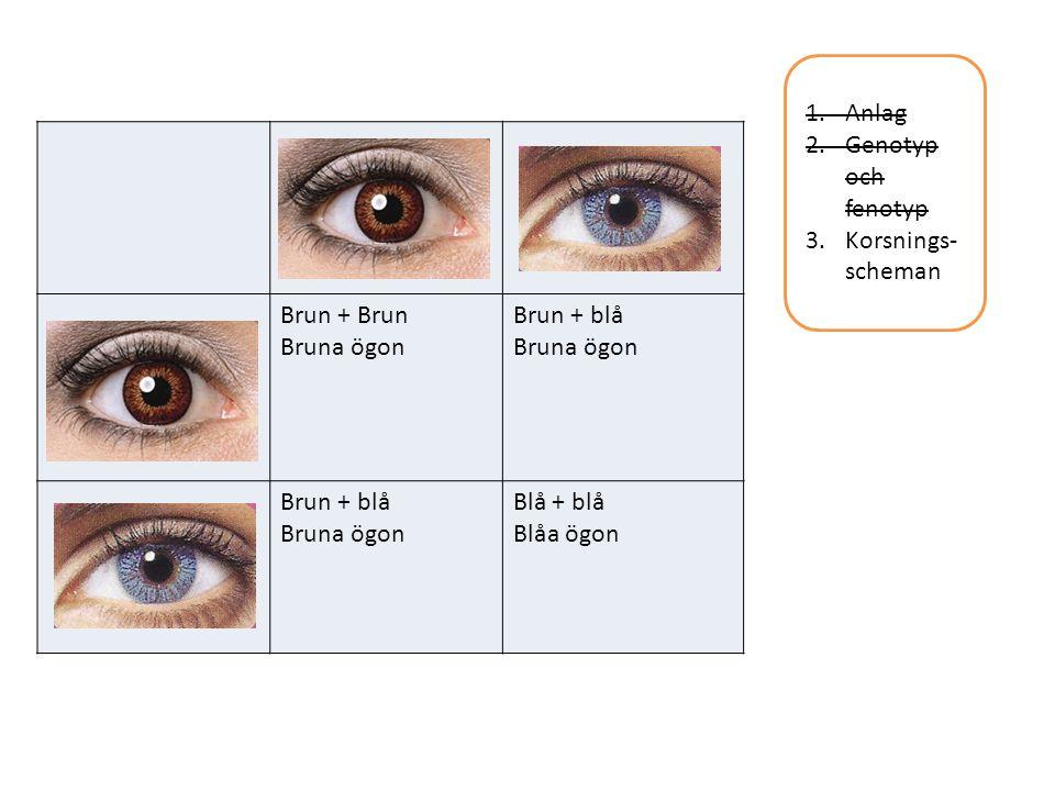 Anlag Genotyp och fenotyp Korsnings-scheman Brun + Brun Bruna ögon Brun + blå Blå + blå Blåa ögon