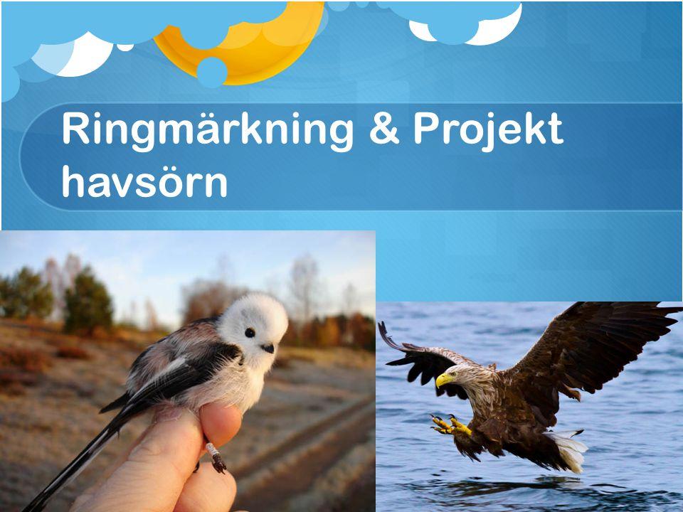 Ringmärkning & Projekt havsörn