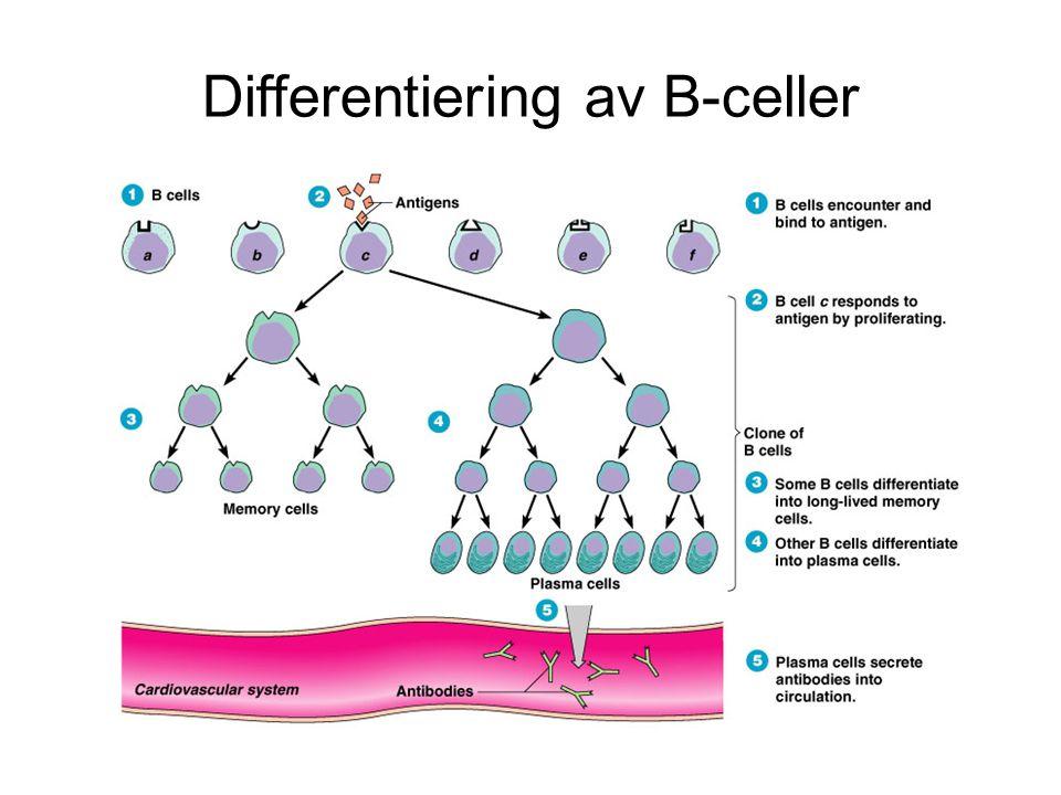 Differentiering av B-celler
