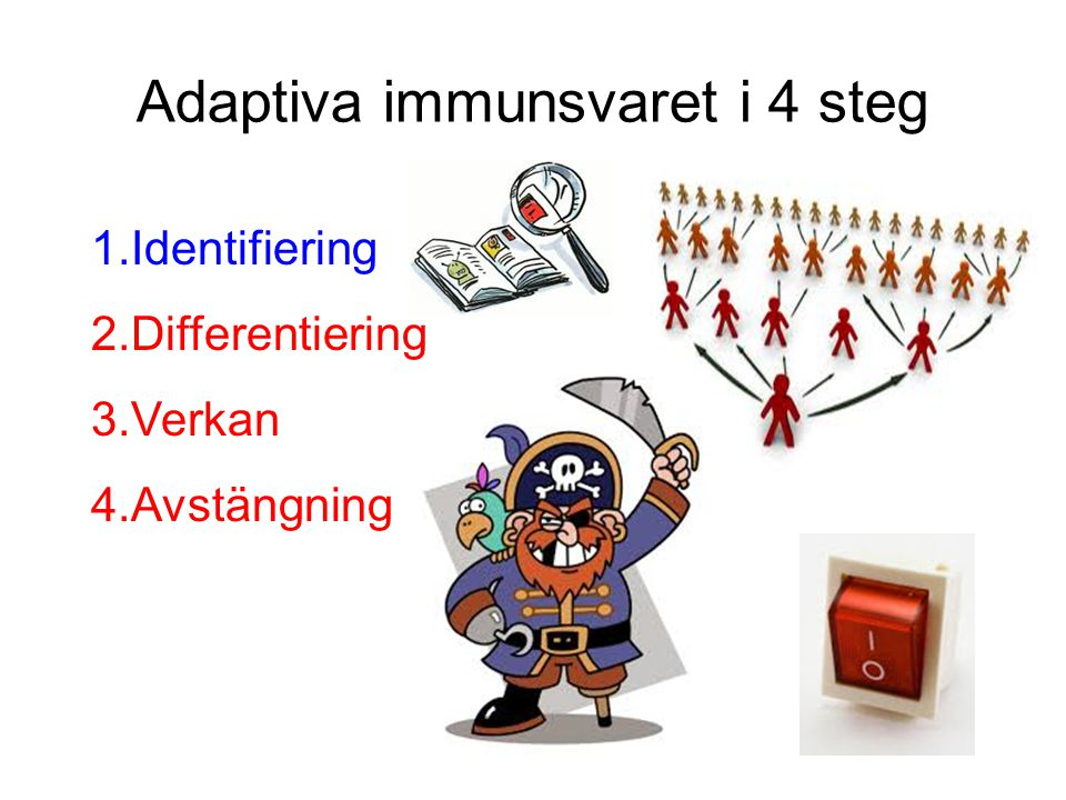 Adaptiva immunsvaret i 4 steg