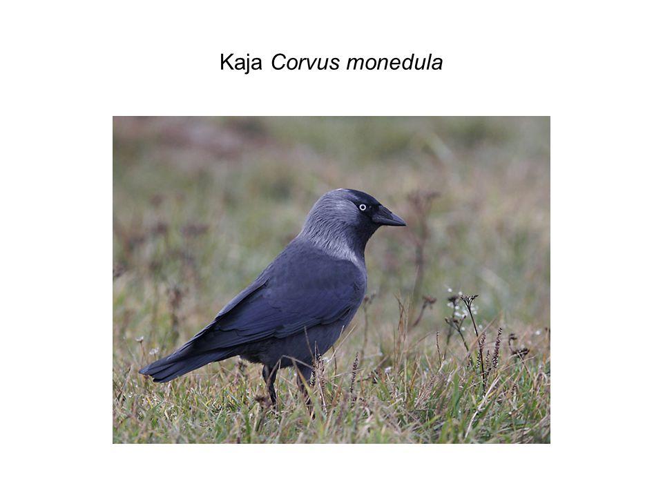Kaja Corvus monedula