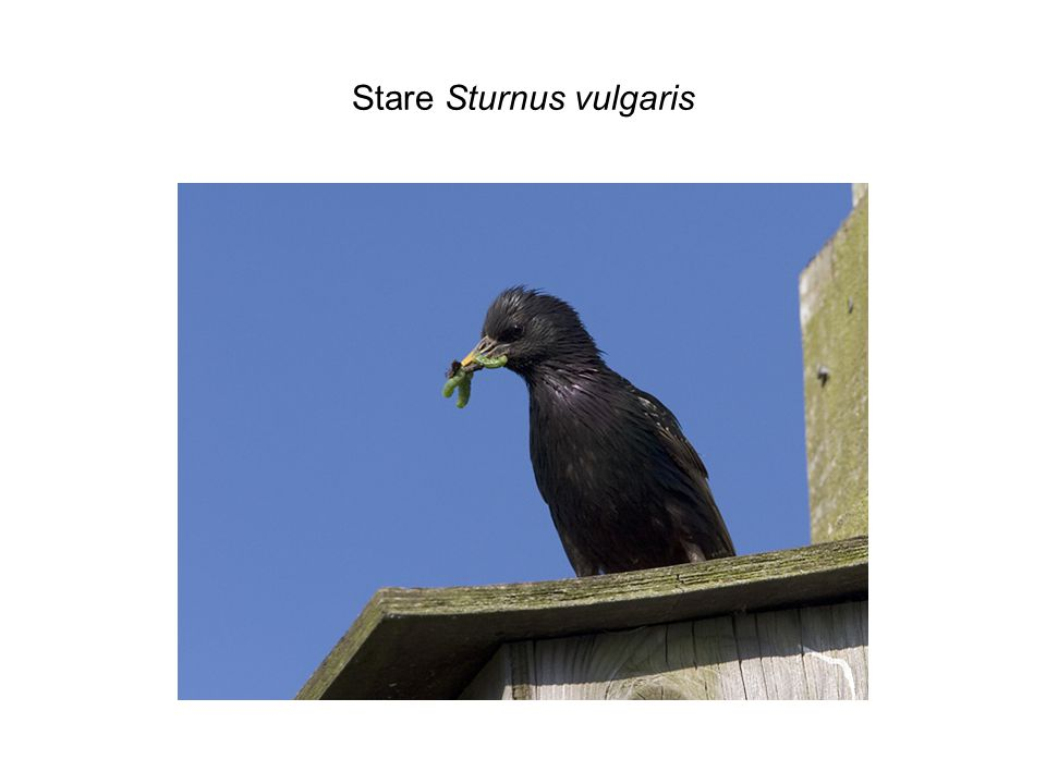 Stare Sturnus vulgaris