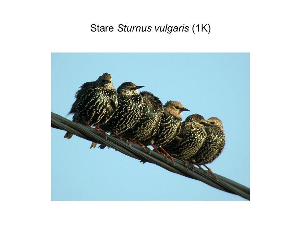 Stare Sturnus vulgaris (1K)