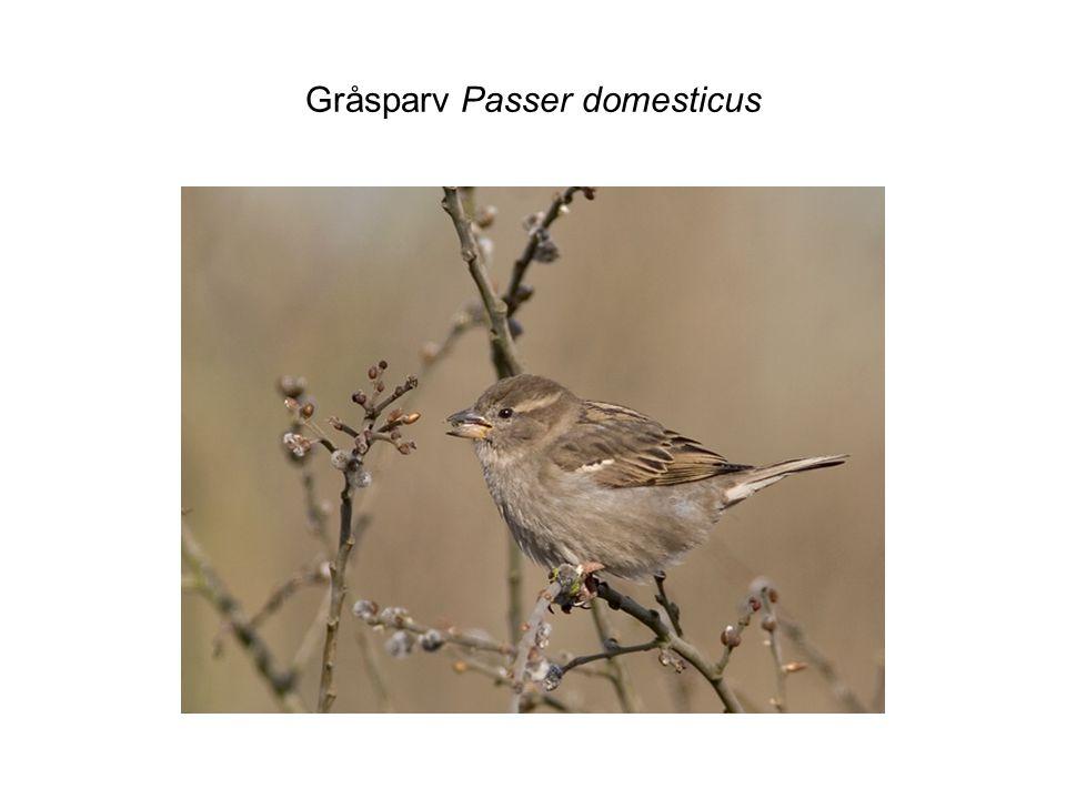 Gråsparv Passer domesticus