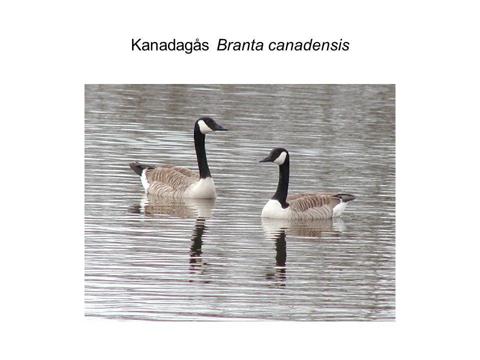 Kanadagås Branta canadensis