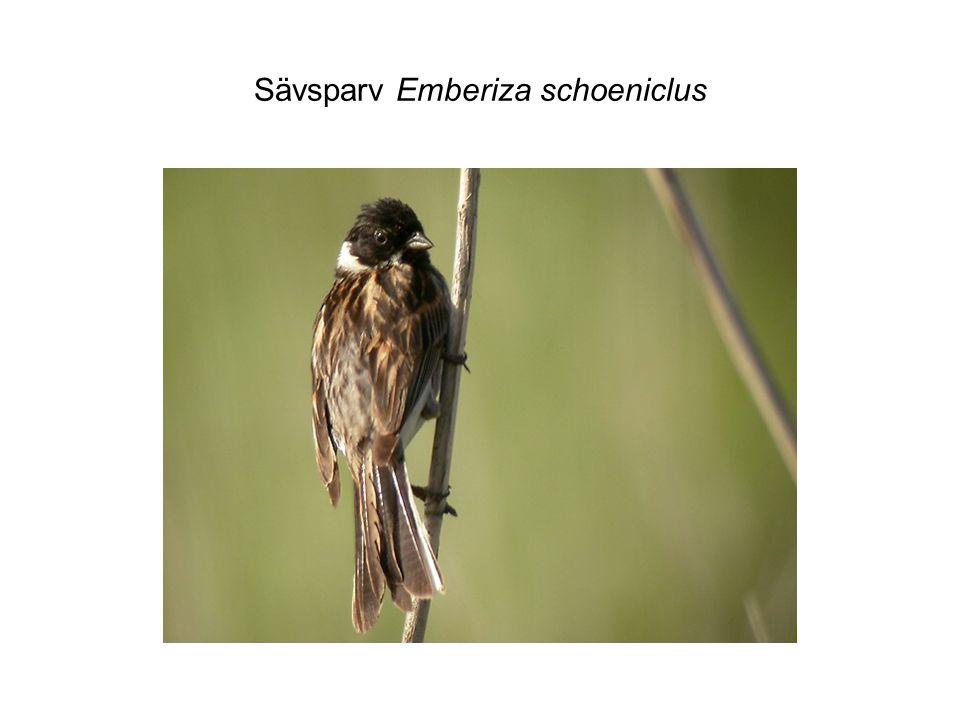 Sävsparv Emberiza schoeniclus
