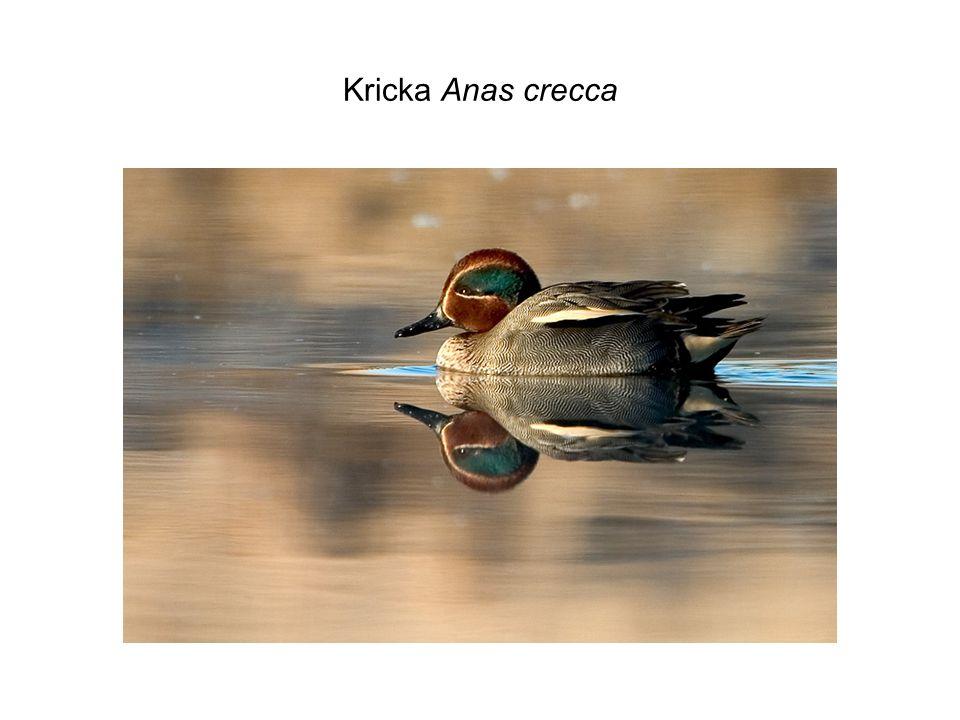 Kricka Anas crecca