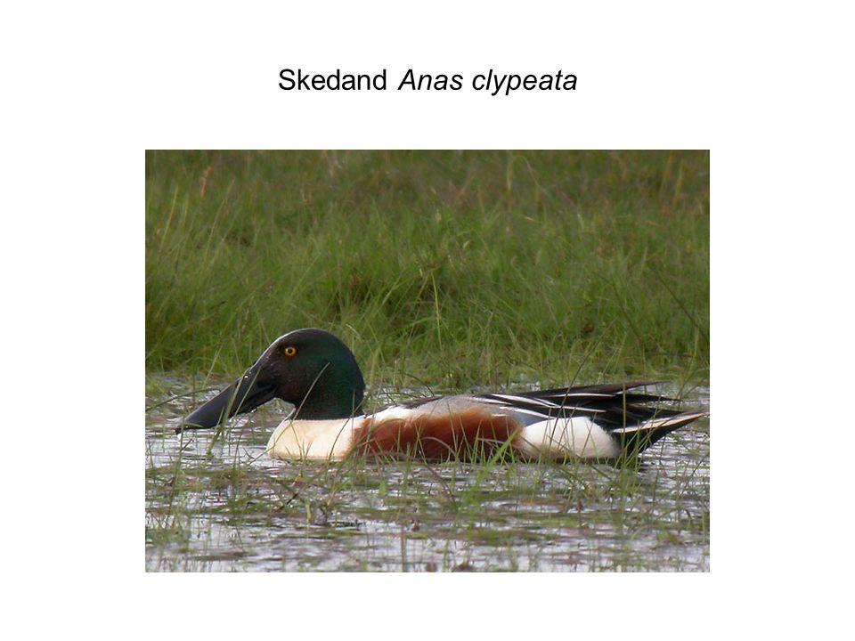 Skedand Anas clypeata