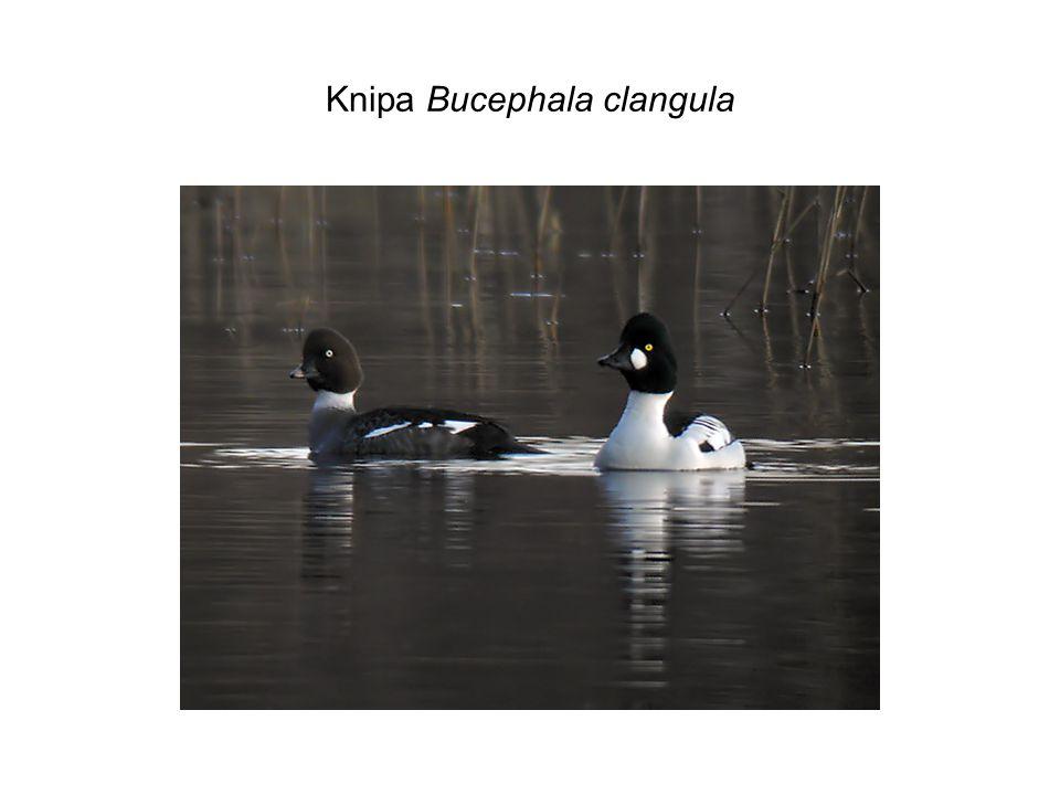 Knipa Bucephala clangula